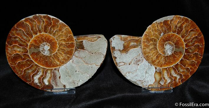 4 1/2 Inch Split/Polished Ammonite Fossil